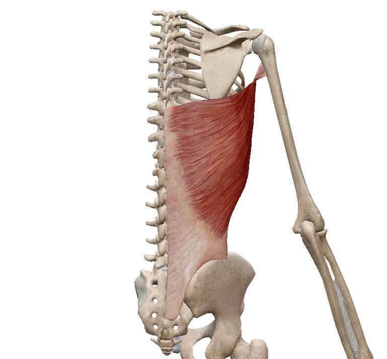 【筋トレで使える!】広背筋の解剖学と起始停止
